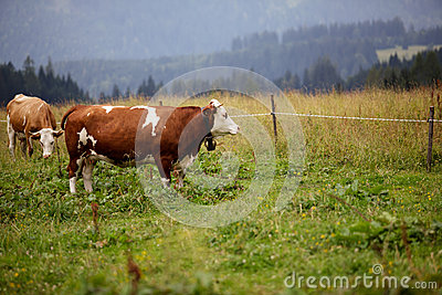 Cows on Alpine Pasture