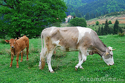 Cows (animal husbandry in Romania)