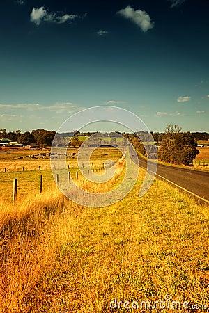 Cows in Australia