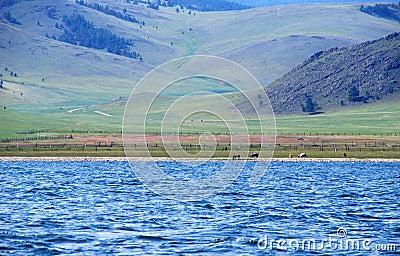 Cows on Baikal