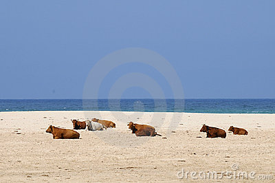 Cows on the beach.
