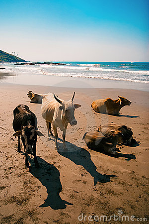 Cows on the beach, Goa, India