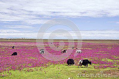 Cows on the beautiful grassland