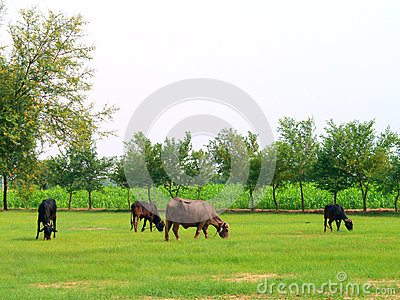 Cows and Buffalos in Fields