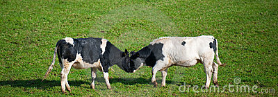 Cows butting heads