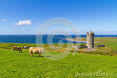 Cows at the castle in Ireland