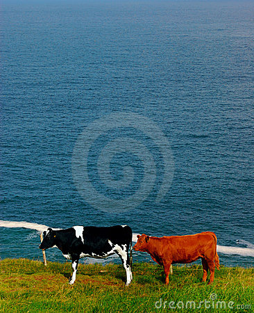 Cows in coastal field in ireland