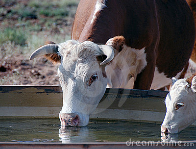 Cows drinking
