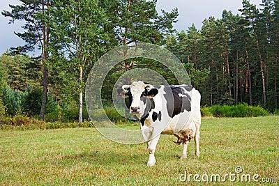 Cows eat grass