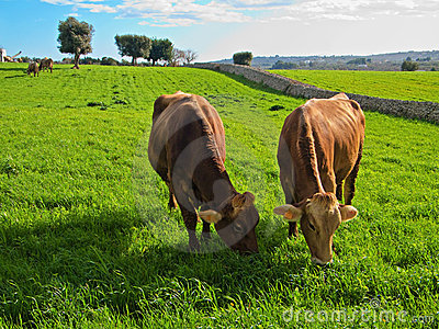 Cows eating.