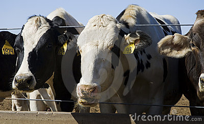 Cows Eating