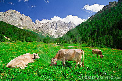 Cows eating grass in a mountain field
