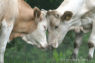 Cows face to face