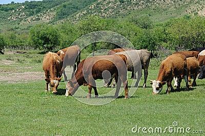 Cows farm in summer