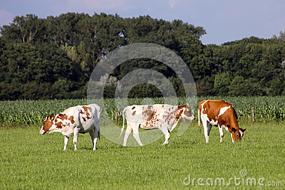 Cows farmland