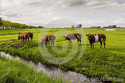 Cows in the field, Holland