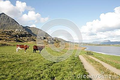 Cows  in a field near  Lofoten s Fjord