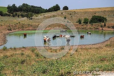 Cows freshening in lake