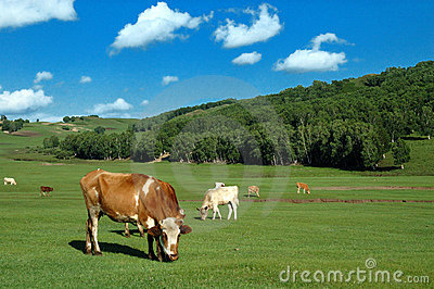 Cows on grassland