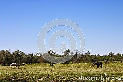 Cows graze in the field