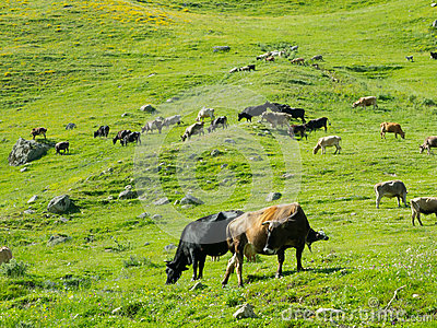 Cows graze in the valley river Enguri in Svaneti