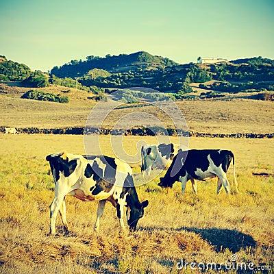 Free Cows Grazing Stock Photo - 32638410