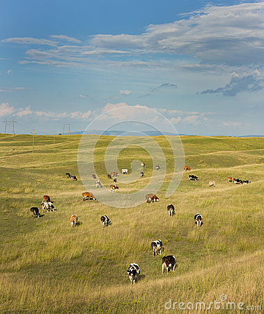 Free Cows Grazing Stock Images - 42980744