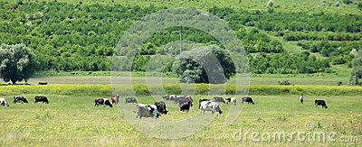 Cows grazing in a farmland