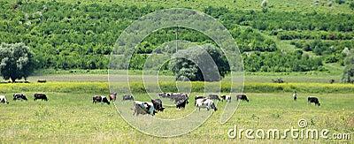 Cows grazing in a farmland