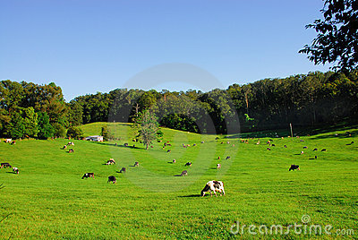 Cows Grazing in a Field of Grass