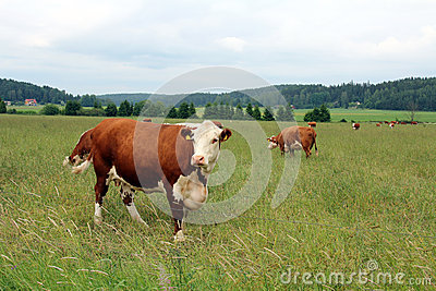 Cows grazing on green summer meadow