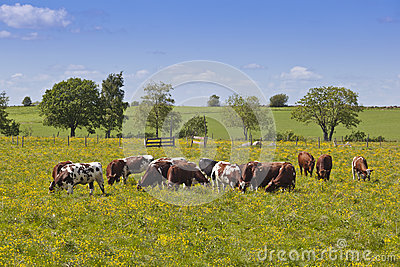 Cows grazing in a meadow