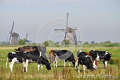 Cows grazing near a mill