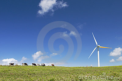 Cows grazing next to a wind turbine