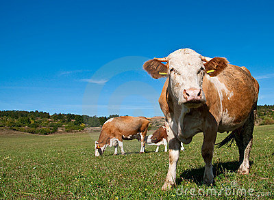 Cows grazing on summer field
