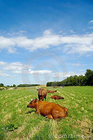 Cows on green grass