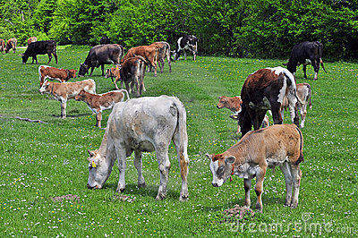 Cows Herd Royalty Free Stock Photos - Image: 19632618