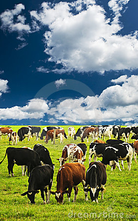 Free Cows In Pasture Royalty Free Stock Photo - 12612595