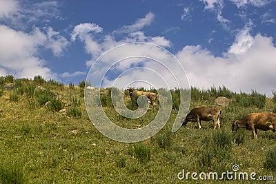 Cows in Kyrgyzstan