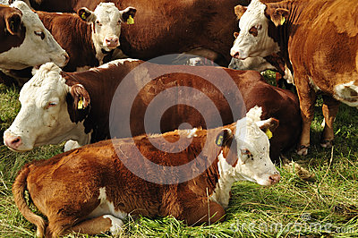 Cows Laying Down