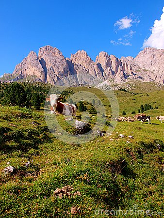 Cows on meadow, Dolomites