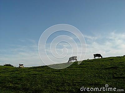 cows, meadow, sky