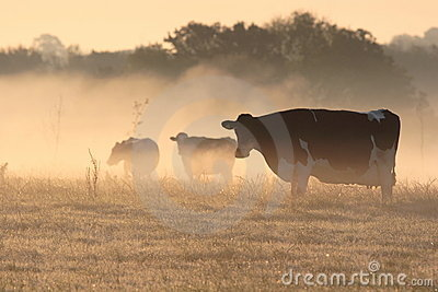 Cows in morning frosty mist.