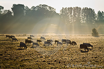 Cows in morning mist