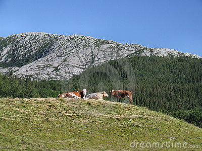 Cows in the mountains