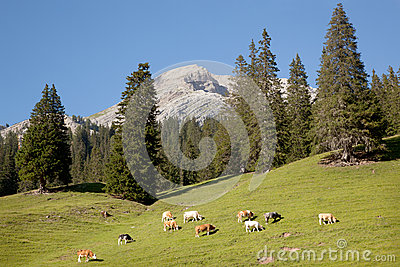 Cows in mountains