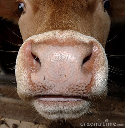 Cows mouth and nose