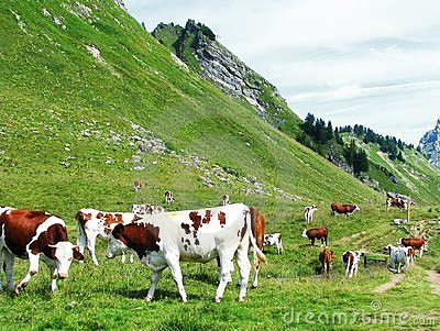Cows in nature