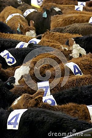 Cows & Numbers