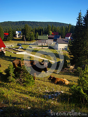 Free Cows On The Slopes Of Durmitor Near Zabljak Royalty Free Stock Photo - 28423545